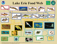 Food web diagram of Lake Erie