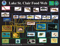 Food web diagram of Lake St. Clair