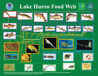 Food web diagram of Lake Huron
